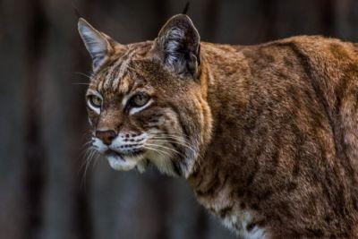 Třikrát ze světa Bobcat